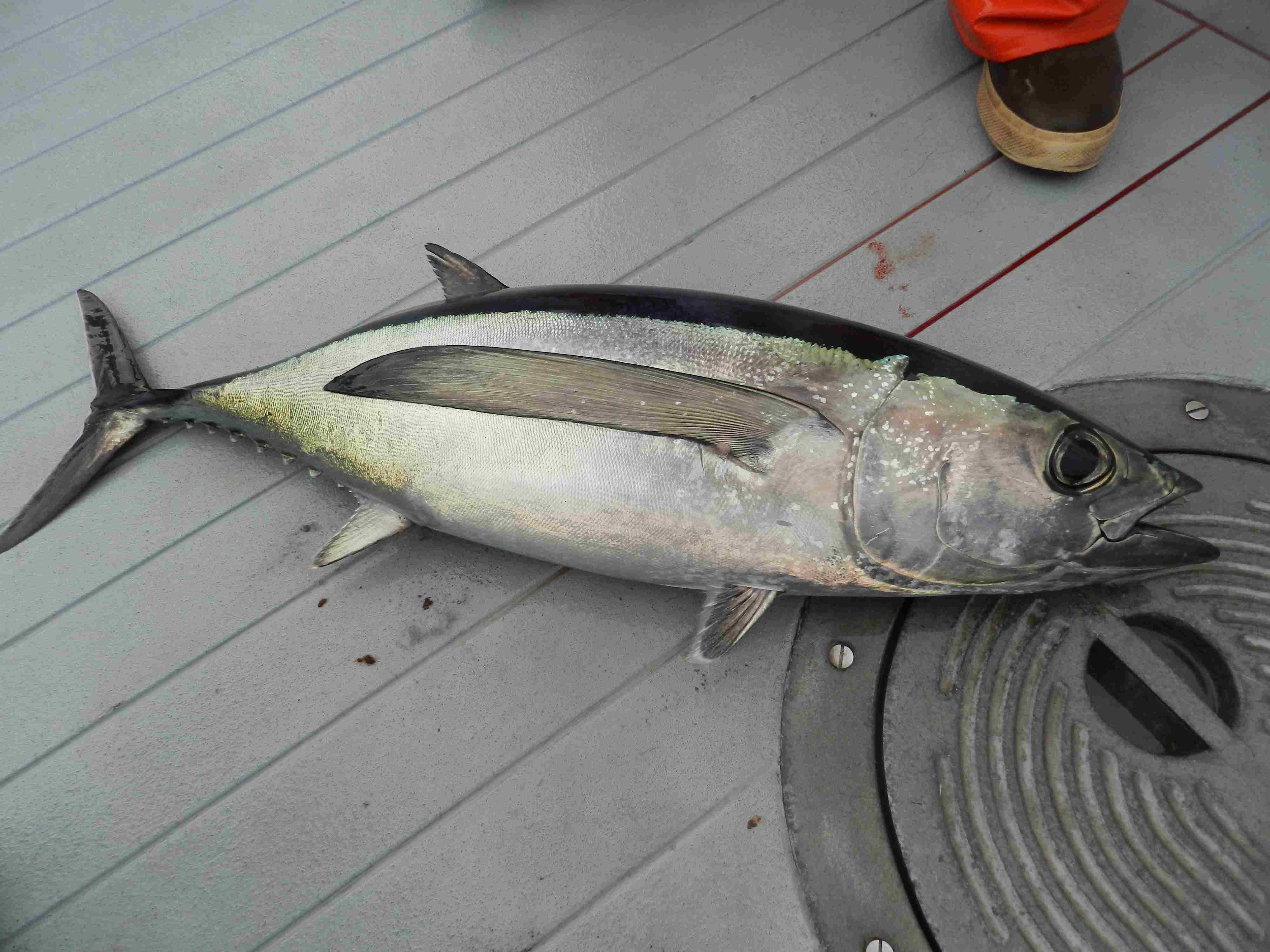 tuna fishing charters